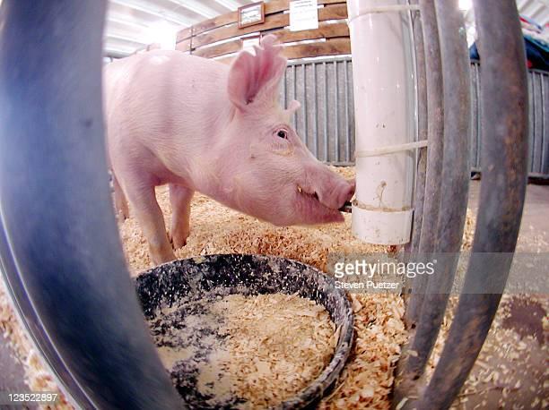 pig drinking water - 食物連鎖 ストックフォトと画像