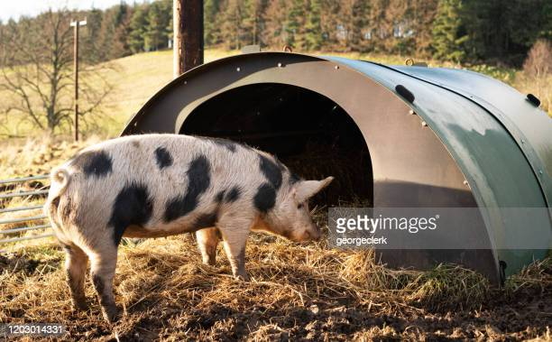 a pig entering her shelter - hut stock pictures, royalty-free photos & images