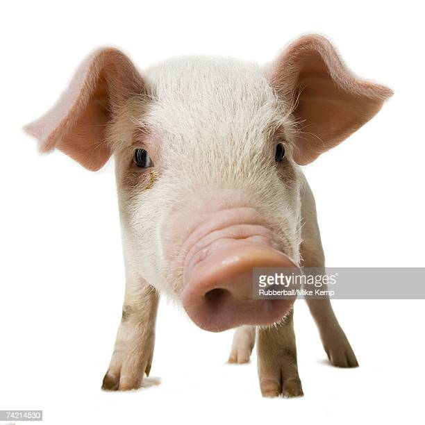 Pig face and snout close up
