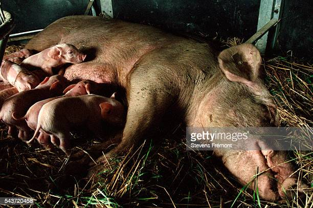 Pig farm in the Sarthe region of France   Location StGeorgesdelaCouee France