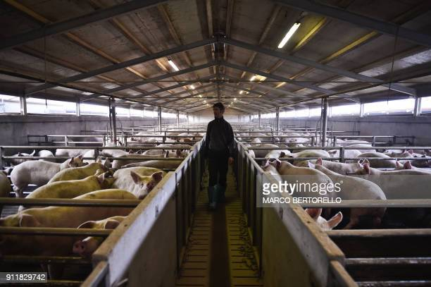 A pig farmer takes care of his animals in his farm on January 25 2018 in Villafalletto near Cuneo northwestern Italy / AFP PHOTO / MARCO BERTORELLO