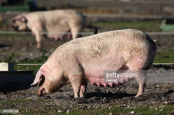 pig farming - pigs trough stock pictures, royalty-free photos & images