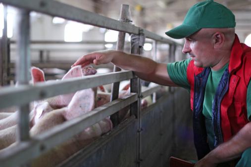 Pig Farming 186545442