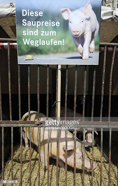 A pig feeds in a cage underneath a placard reading those pork prizes make one flee as behind a mock cow reading fair milk is displayed during a...