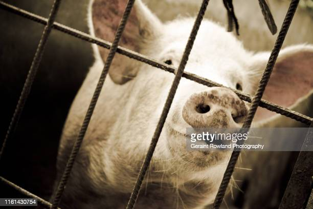 pig in a cage - swine influenza virus stock pictures, royalty-free photos & images