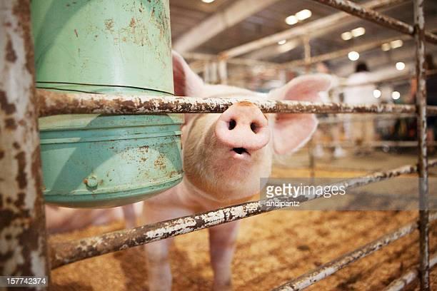 Schwein in einem Stift