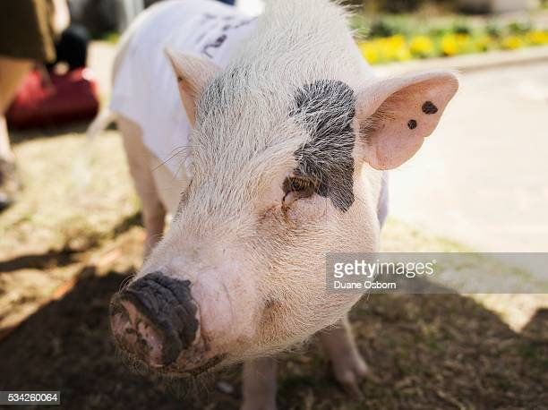 pig in a t-shirt - ugly pig stock pictures, royalty-free photos & images