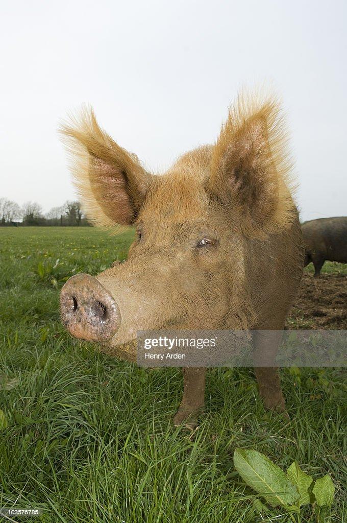 Pig in field : Foto de stock