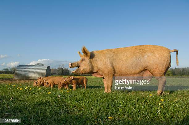 pig in field - 雌豚 ストックフォトと画像