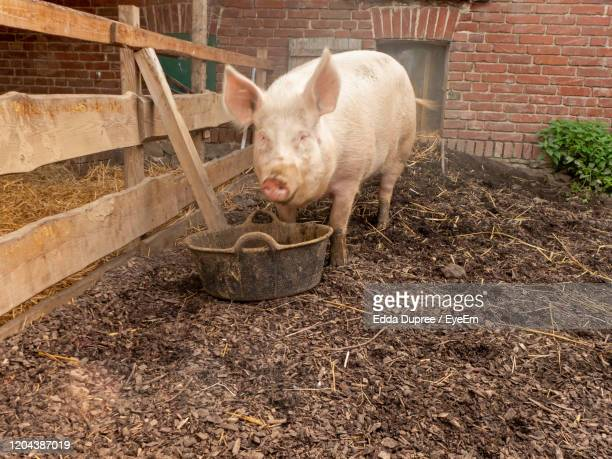 pig in pigpen, pigsty. the pig has a run-out with a muddy pool and can be outside of - one animal stock pictures, royalty-free photos & images