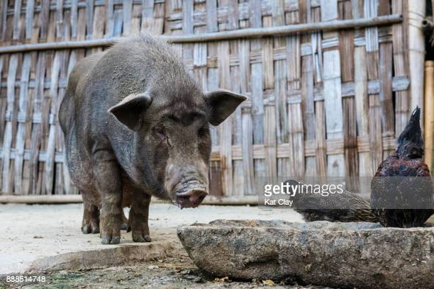 pig in sa pa - pigs trough stock pictures, royalty-free photos & images