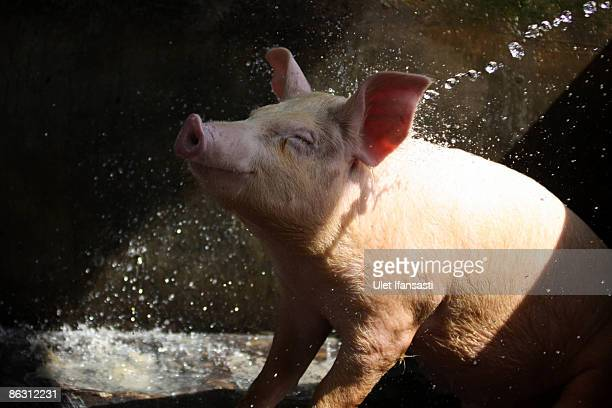 A pig is washed at a farm on May 1 2009 in Yogyakarta Indonesia The World Health Organisation has issued a phase five Swine Influenza Virus pandemic...