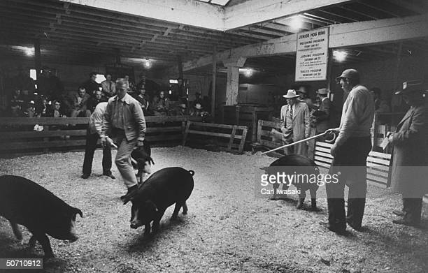 Pig judging at the National Western Stock show