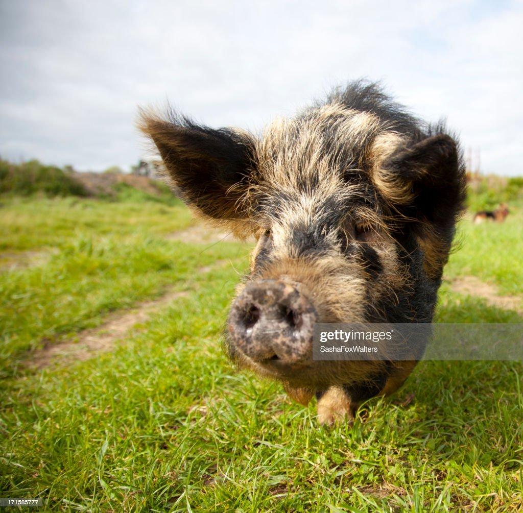 pig looking at camera : Stock Photo