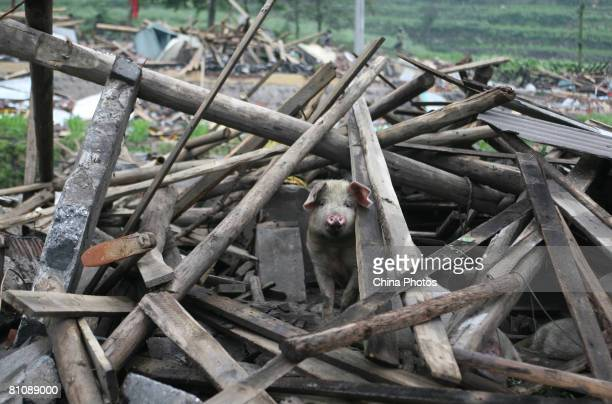 Pig looks out from the debris of a collapsed house in the Ronghua Township May 14, 2008 in the outskirts of Shifang, one of the hard-hit cities, of...