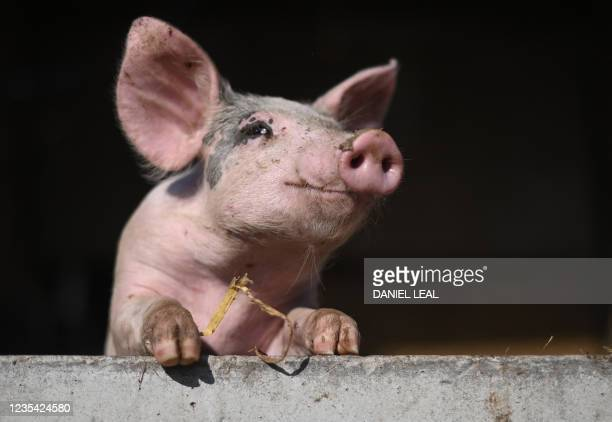 Pig looks over the door to it's enclosure at Wicks Manor Farm in Maldon, south east England on September 22, 2021 - Britain warned Wednesday that a...