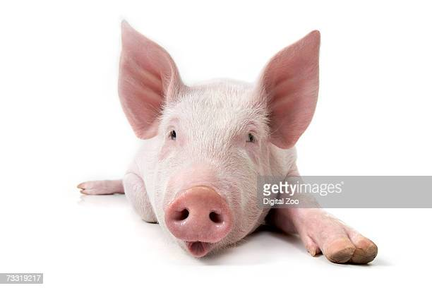 pig lying down, front view - pig stock pictures, royalty-free photos & images