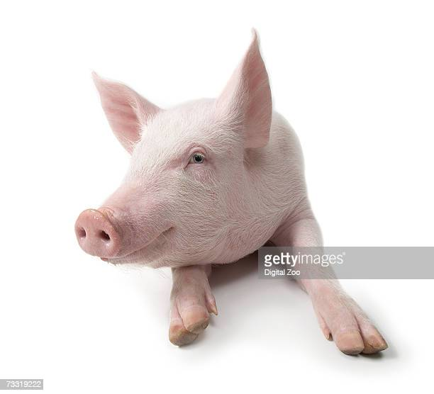 Pig lying down, white background