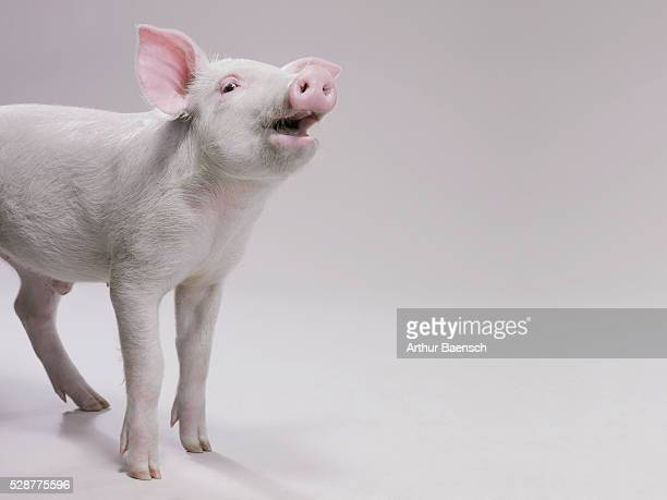 Pig oinking happily