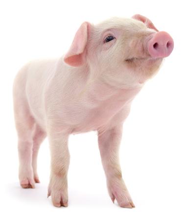 Pig on white 861535468