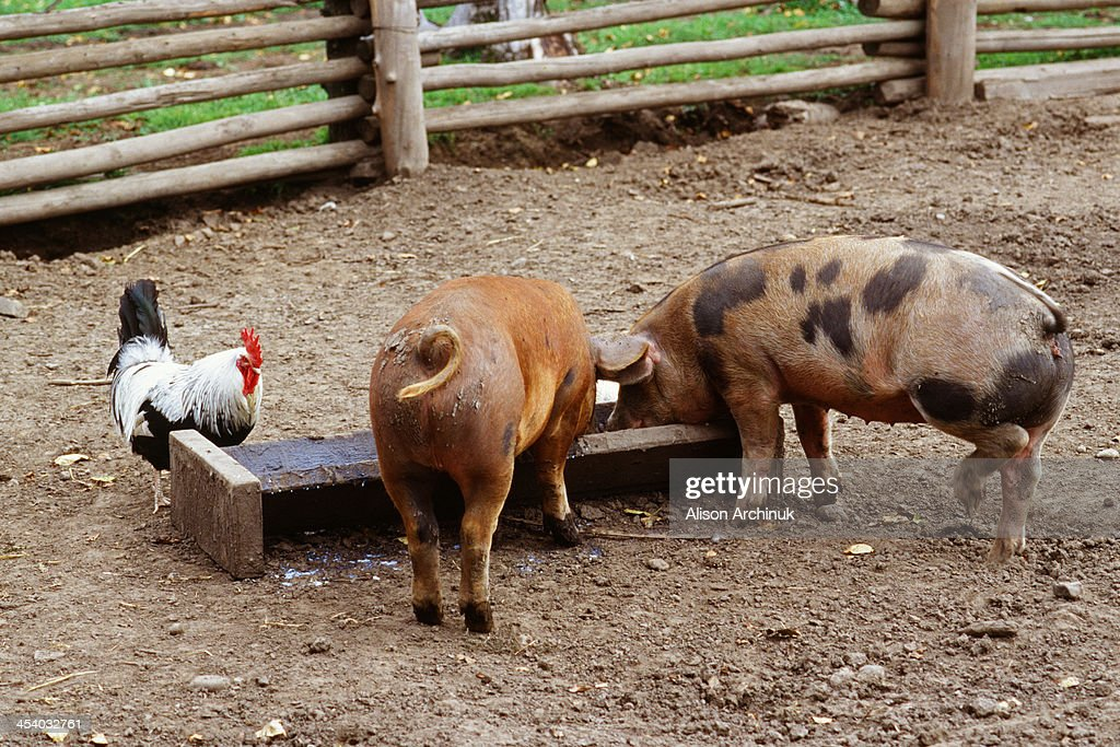 Pig Out : Stock Photo
