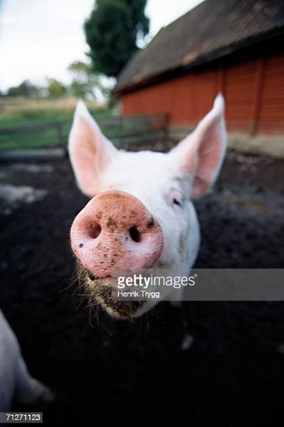 pig outdoors. - 突き出た鼻 ストックフォトと画像