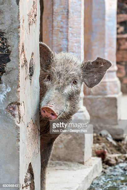 Pig peeping out from behind wall on the street in an old Indian village