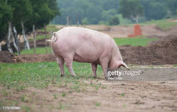 a pig - one animal stock pictures, royalty-free photos & images