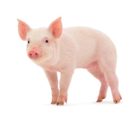 Pig 120534386