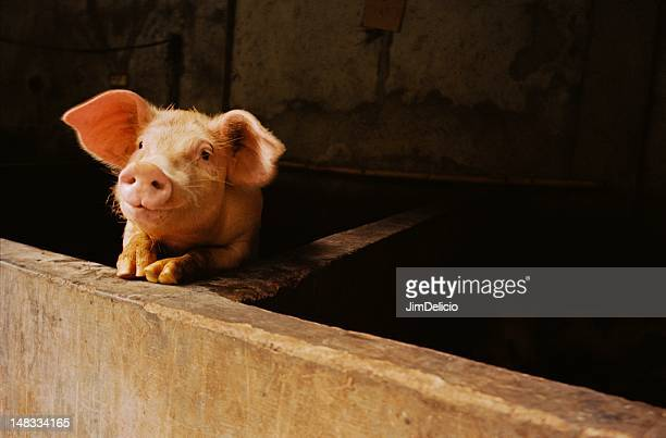 Pig ..