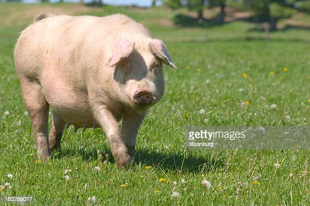 pig - pig nose stock pictures, royalty-free photos & images