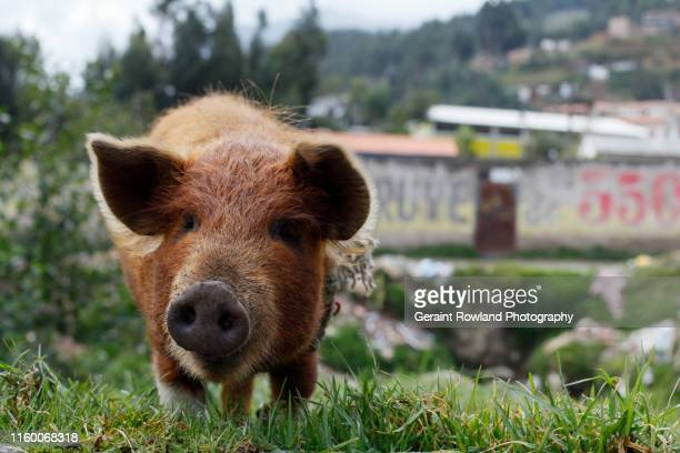 pig portrait, huaraz, north peru - pigs trough stock pictures, royalty-free photos & images