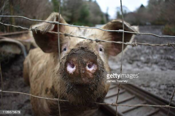 pig pushing snout through fence - pig nose stock pictures, royalty-free photos & images