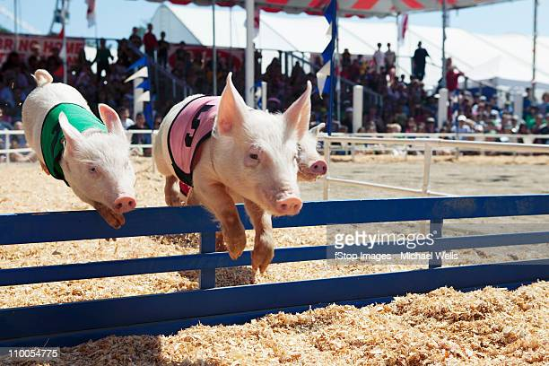 pig race at the fair - agricultural fair stock pictures, royalty-free photos & images