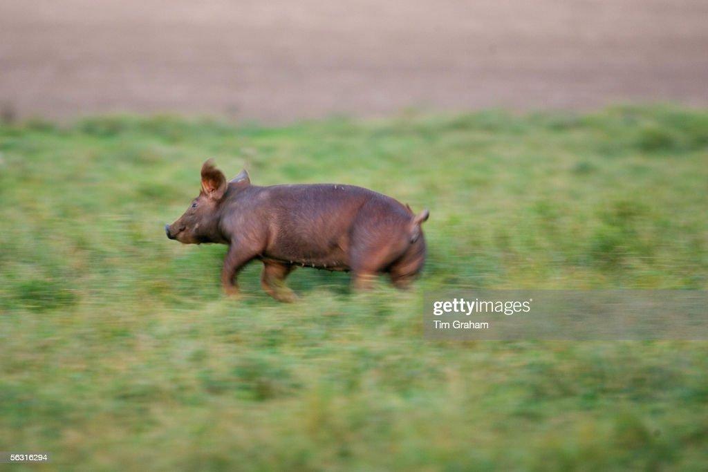 Free-range Pigs, Lambourn, UK : ニュース写真
