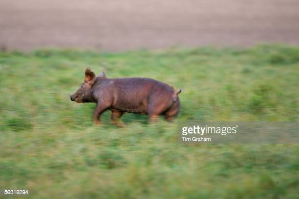 Pig roaming freely at Sheepdrove Organic Farm, Lambourn, England where Camborough sows are kept with Duroc boars.