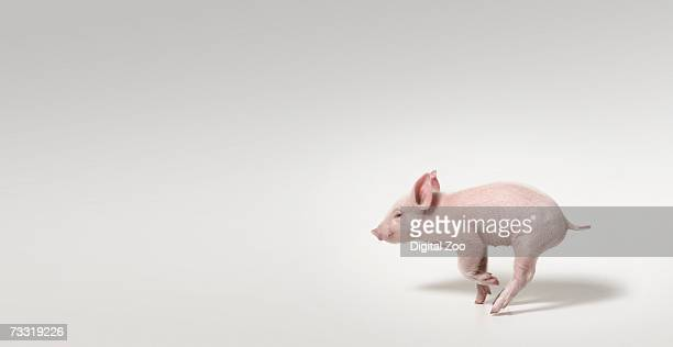 pig running, panoramic studio shot - pig stock pictures, royalty-free photos & images