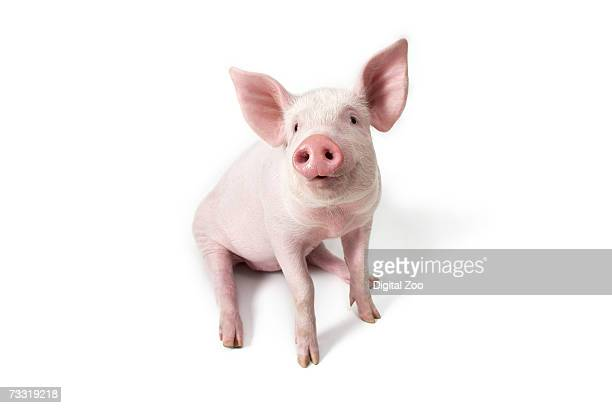 Pig sitting, high angle view