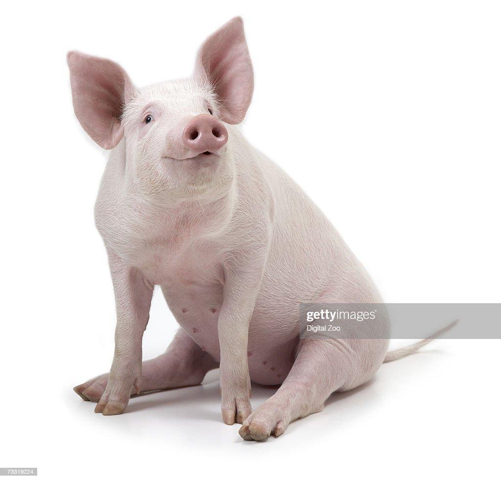 Pig sitting, white background : Stock Photo