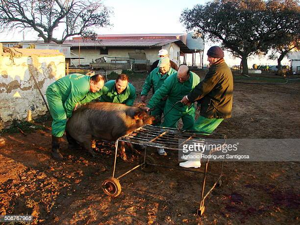 Pig slaughter is an activity necessary to obtain pig meat It regularly happens as part of traditional and intensive pig farming A group of farmers...