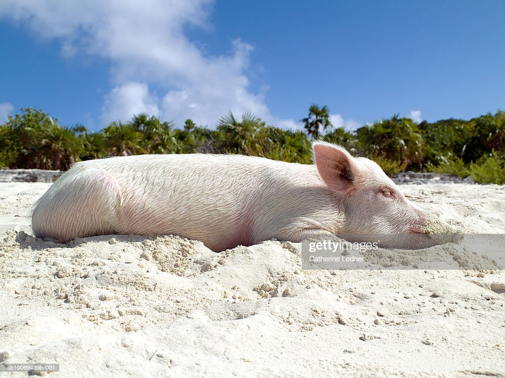 Pig sleeping on beach