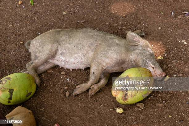 pig sleeping on beach, sao tome and principe - intermission stock pictures, royalty-free photos & images
