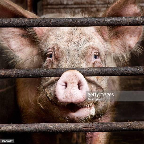 pig smiling - 雌豚 ストックフォトと画像