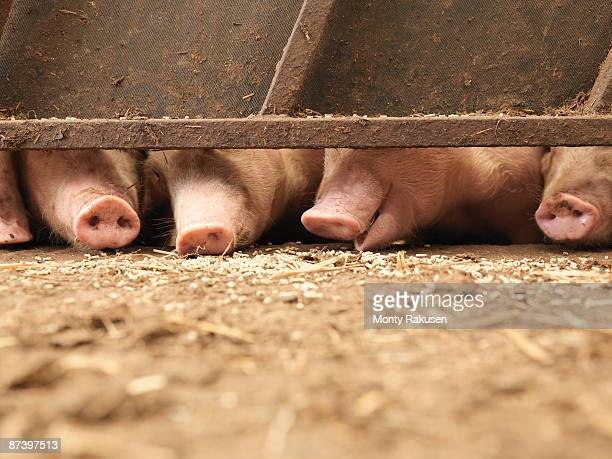 pig snouts - livestock stock pictures, royalty-free photos & images