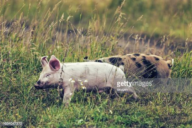 pig staiyng in the green grass - pig in shit stock pictures, royalty-free photos & images