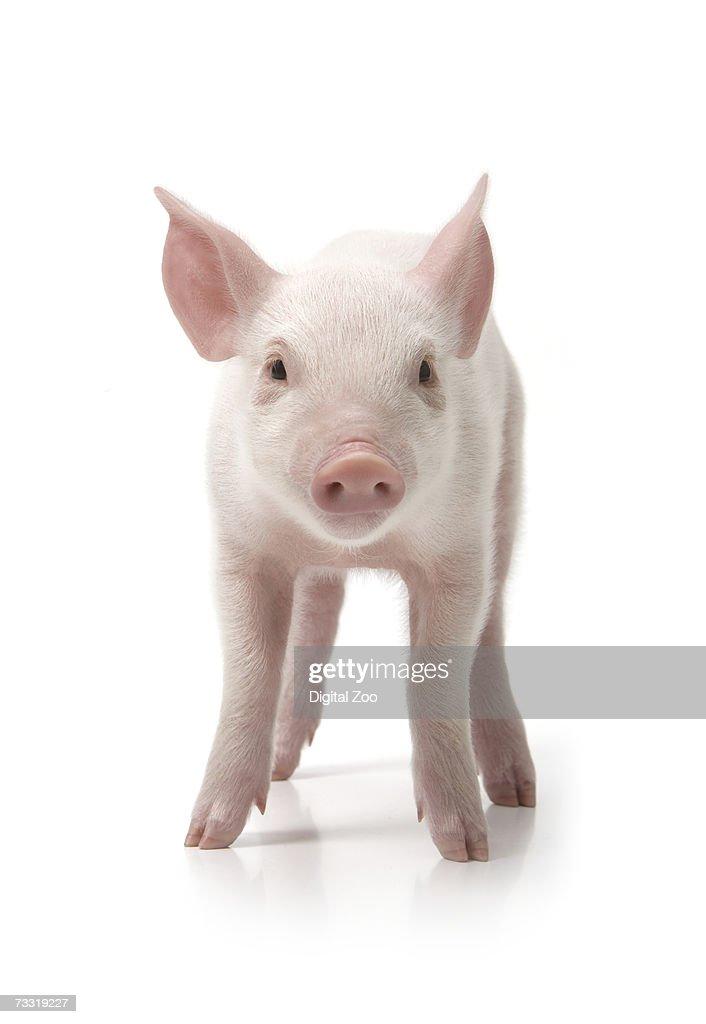 Pig tites