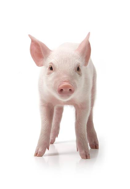 Pig Standing, Front View, White Background Wall Art