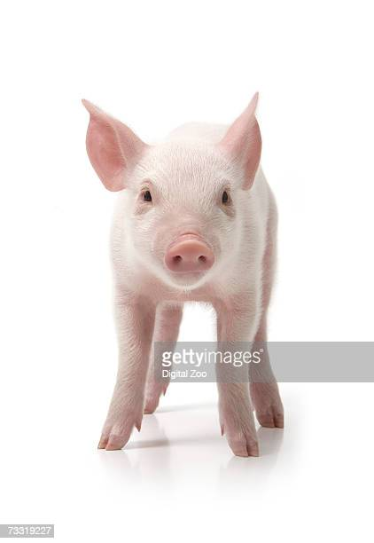 pig standing, front view, white background - pig stock pictures, royalty-free photos & images
