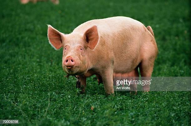 pig (sus sp.) standing in field, tuscany, italy - 雌豚 ストックフォトと画像