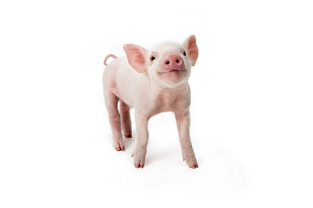 Pig Standing Looking Up, White Background Wall Art